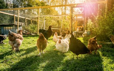 How to Keep Your Backyard Chicken Coop a Paradise for Birds